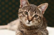 cat-hairballs-AAV