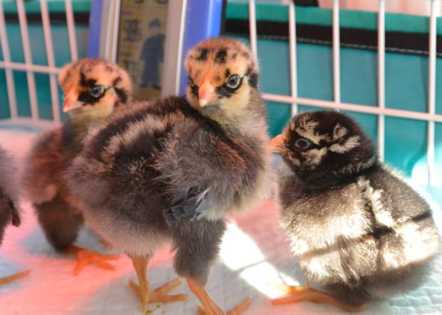chickens-main