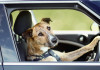 driving-dogs