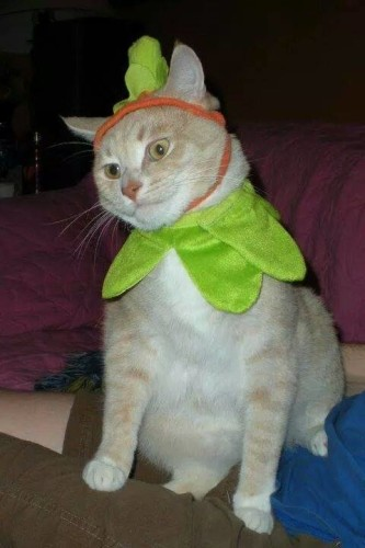 halloween-pumpkincat