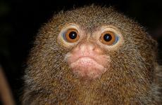 bark-pygmy