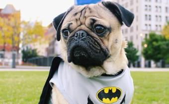 bark-doug-pug